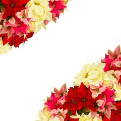 poinsettia flower or christmas star