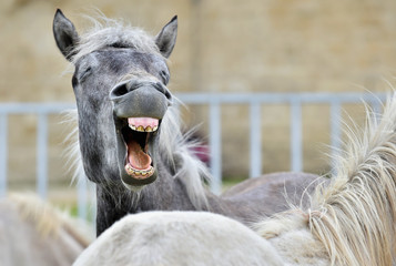 Funny portrait of a laughing horse. Camargue horse yawning,