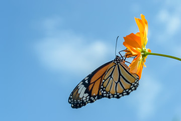 Beautiful Monarch butterfly feeding on cosmos flowers against blue sky