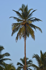 Coconut palm in Goa, India