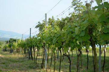 Photo of vineyard in summer