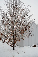 Snowy Winter Scene of an ice covered tree with a few copper colored leaves