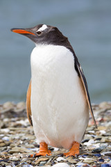 Penguin on shingle beach.