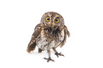Oriental scops-owl isolate on white background