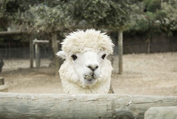 Alpaca in zoo