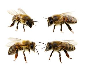 Poster Bee Set of bee