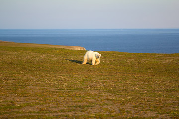 Unusual picture: polar bear on land in the polar day period. Novaya Zemlya archipelago, South island