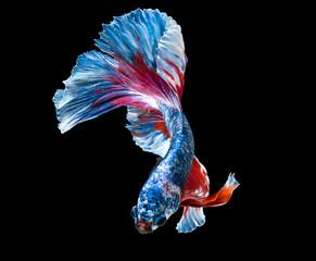 macro colorful siam fighting fish are swimming