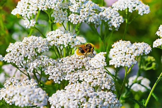Шмель (Bombus) на цветке Тысячелистника (Achillea)
