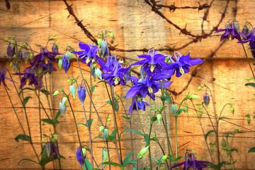 Columbine flowers with grunge texture applied