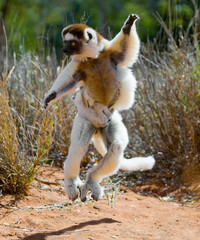 Dancing Sifaka jumping. Madagascar. An excellent illustration.