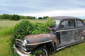 Vintage automobile abandoned and overgrown with wild plants