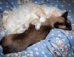 heilige Birma schmust mit Siam Katze