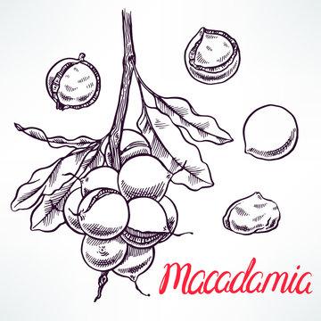 macadamia sketch tree branch