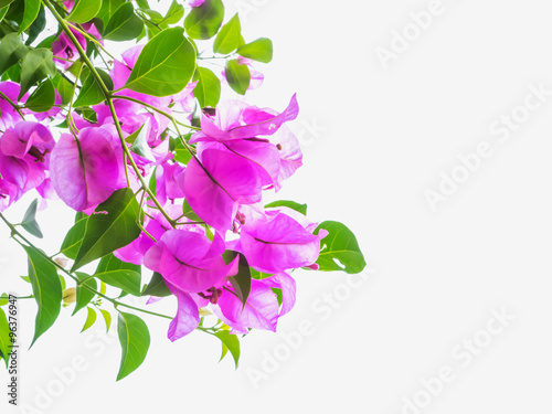 Wall mural Pink Bougainvillea flower isolated