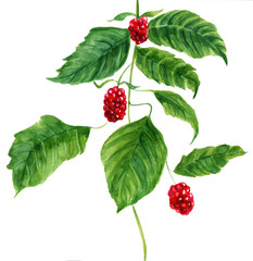 Vintage drawing of wild red raspberries with green leaves