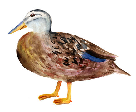 Watercolor drawing of duck on white background