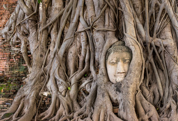Head Buddha in root in thailand