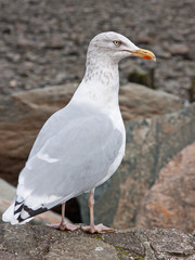 European Herring Gull ( Larus argentatus ), increasingly seen away from the shoreline