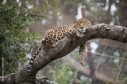 cheetah sleeping on the tree in zoo stock photo and royalty free