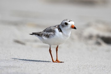 Fotoväggar - Endangered Piping Plover (Charadrius melodus)