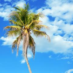 coconut tree in blue sky