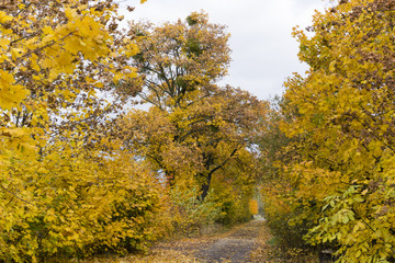way through maple alley in autumn colors