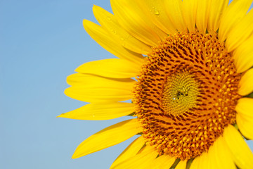 closeup of blooming sunflower