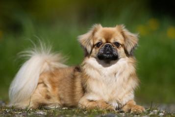 Tibetan Spaniel dog outdoors in nature