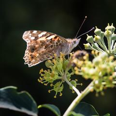 Butterfly Vanessa cardui on flower