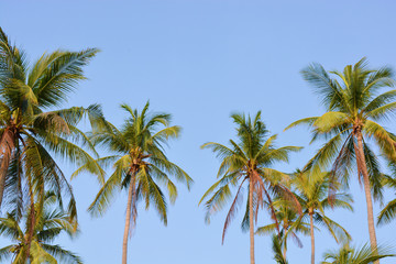 coconut tree garden