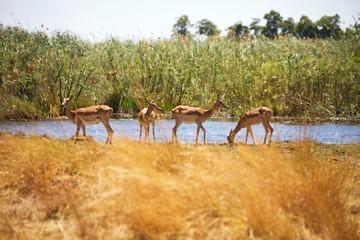 Impala, Aepyceros melampus, Bwabwata National Park, Namibia