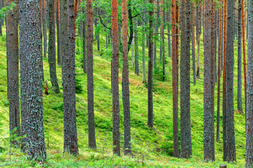 Fresh Green Pine Forest Backdrop
