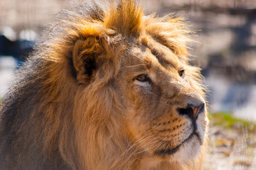 Portrait of a male lion in the sun