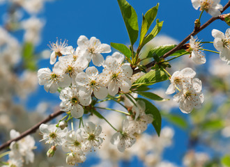cherry blossom against the sky
