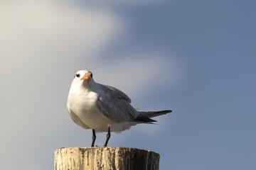 Seagull sitting on wooden pole