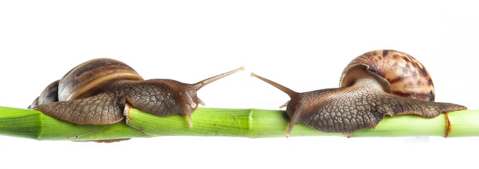 Snail crawling on green stem of plant with white background