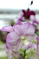 Thailand's orchid species that grow and export abroad.