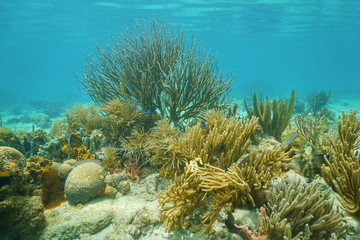 Underwater corals mostly Octocorals Caribbean sea
