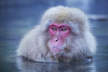 Japanese snow monkey bathing in hot spring in Jigokudani Park