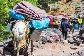Donkeys transport tourists and luggage, Toubkal national park, Morocco
