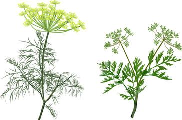 Fototapeta green dill and celery isolated on white obraz