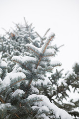 Snow-covered tree. Winter soft background