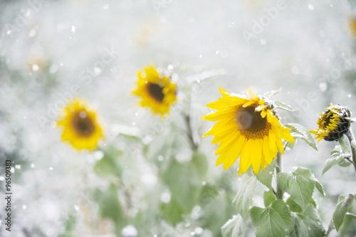 sonnenblumen im schnee stockfotos und lizenzfreie bilder auf bild 96509383. Black Bedroom Furniture Sets. Home Design Ideas