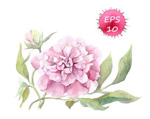 Peony flower. Watercolor botanic illustration