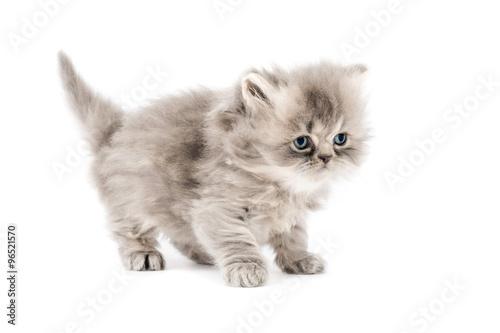 Cucciolo di gatto persiano a pelo lungo tortie grigio con occhi azzurri  isolato su sfondo bianco
