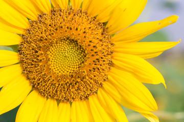 Beautiful sunflower in morning