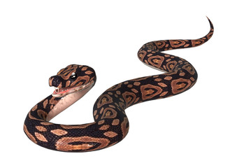 Ball Python on White