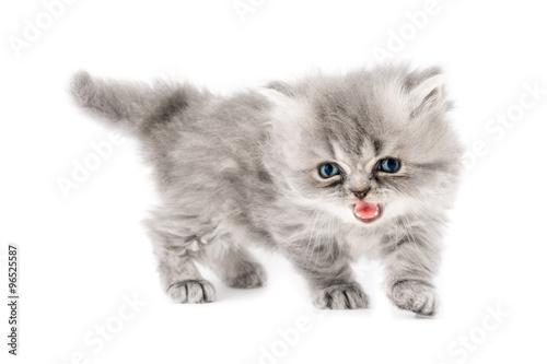 Cucciolo Di Gatto Persiano A Pelo Lungo Tortie Grigio Con Occhi