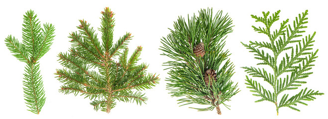 Evergreen tree branch set isolated on white. Coniferous plants
